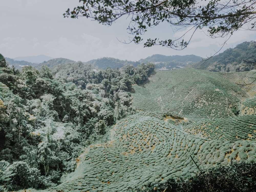 Malaysia - Cameron Highlands