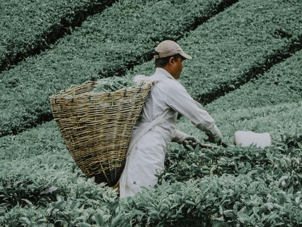Teepflücker in den Cameron Highlands