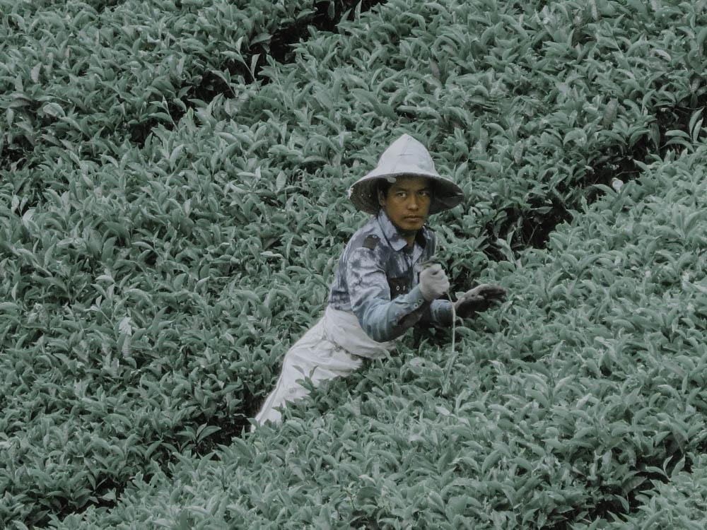 Teepflücker in den Cameron Highlights in Malaysia