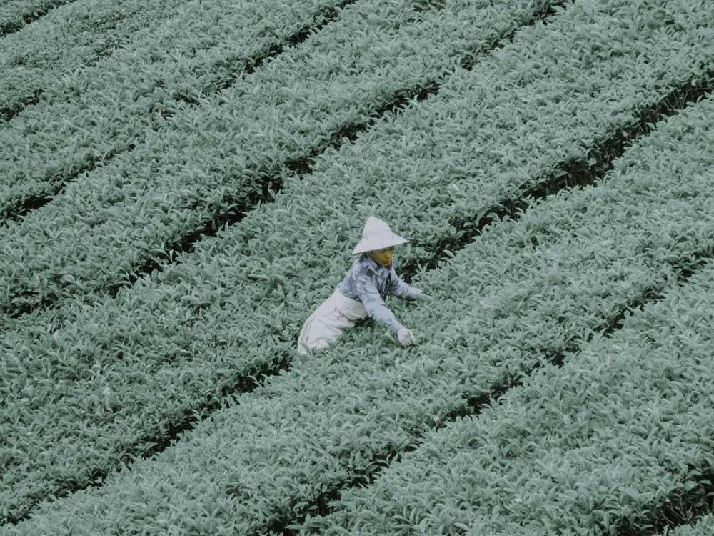 Teepflücker in den Cameron Highlands in Malaysia