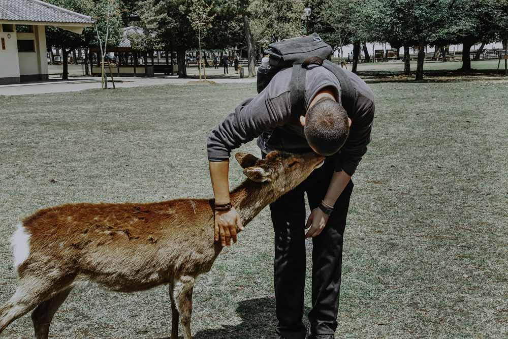 Die Hirsche und Rehe im Nara Park in Japan