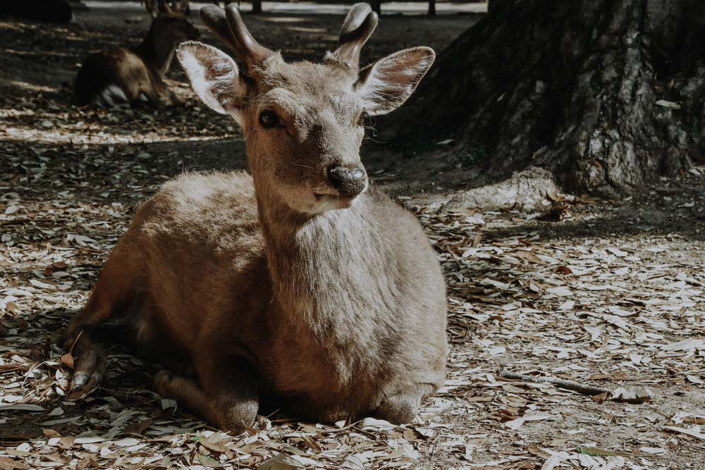 Nara's Deers & Nara Park