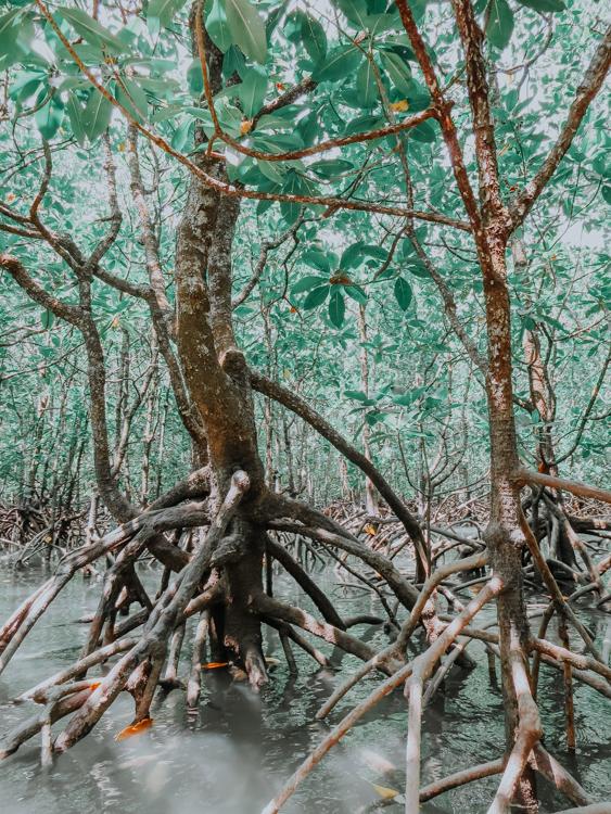 Mangroven in Malaysia