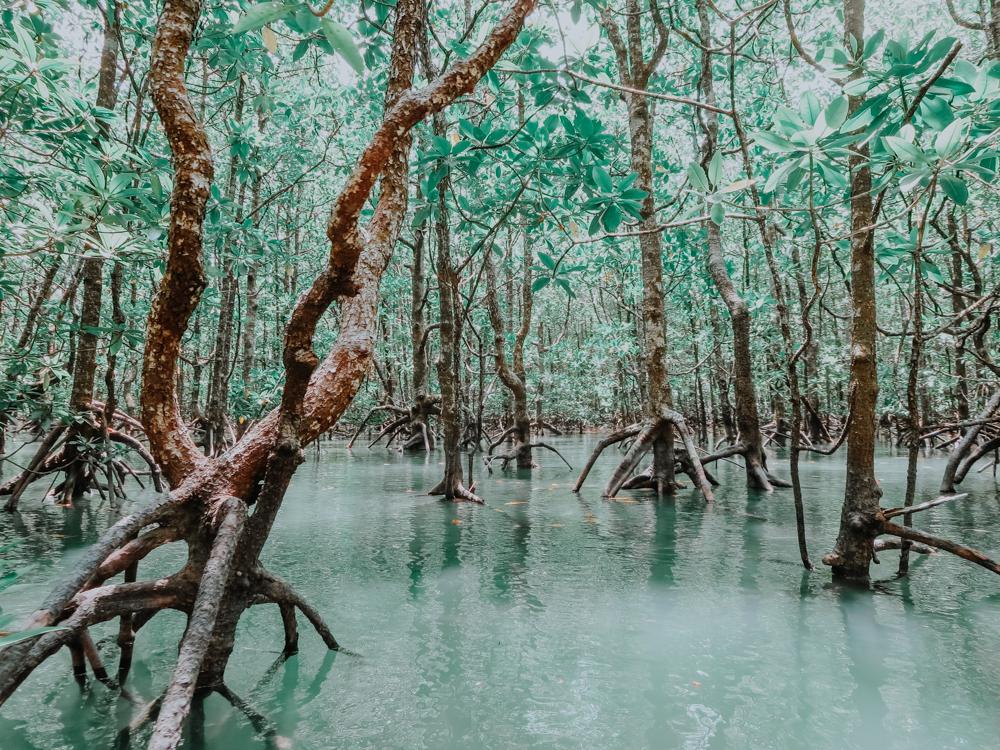 Mangroven auf der Insel Langkawi in Malaysia