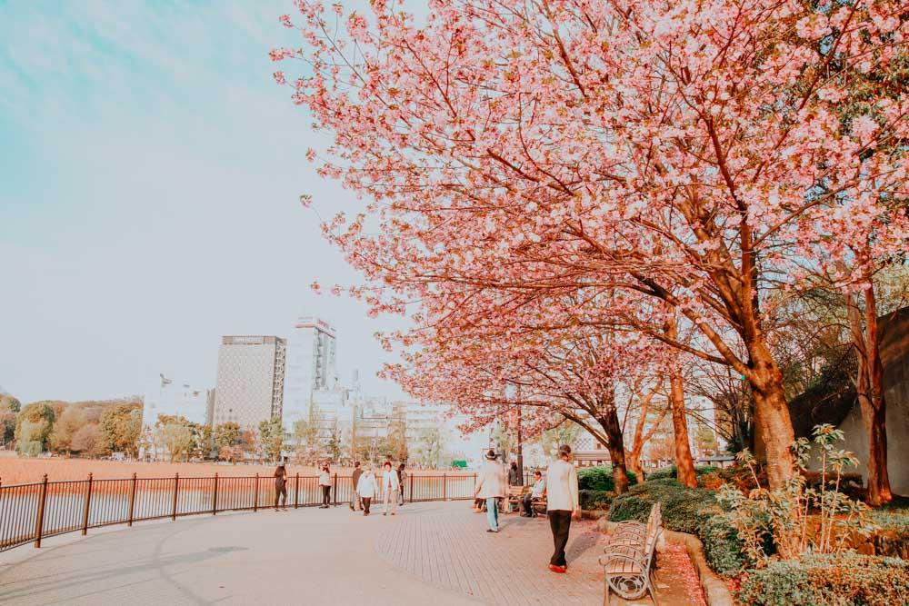 Sakura in Japan: Ueno Park