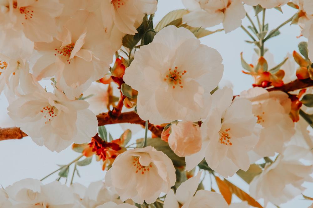 weiße Kirschblüten im Ueno Park