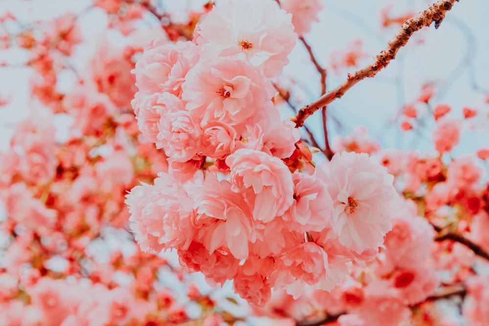 Kirschblüten im Yoyogi Park in Tokio