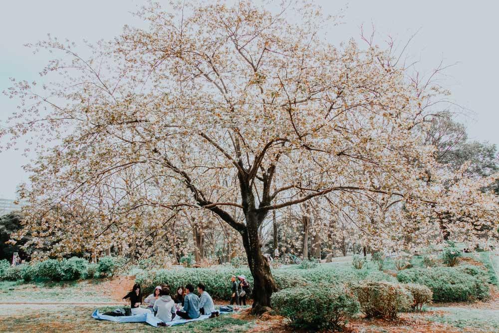 Die schönsten Kirschblütenparks in Tokio - Yoyogi Park