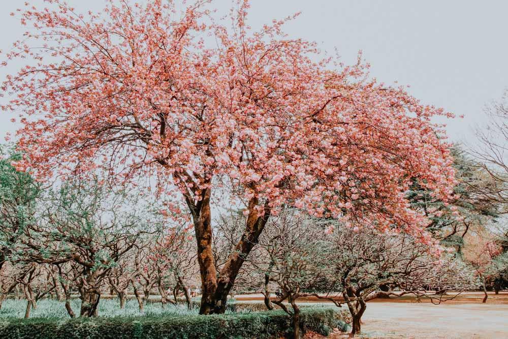 Sakura Baum in voller Blüte Shinjuku Gyoen National Park