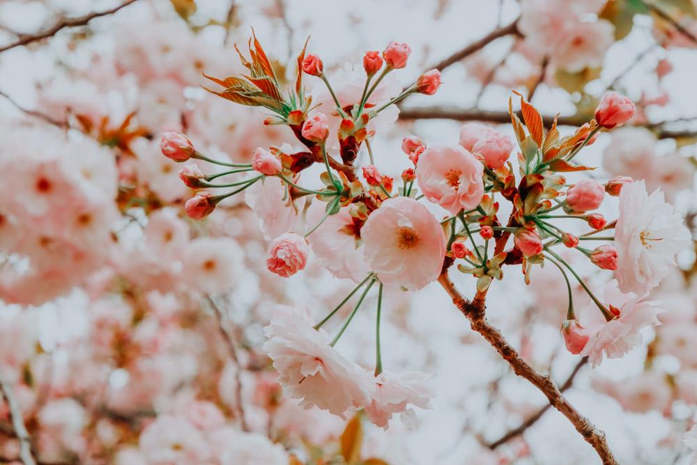 Kirschblüten Tokio