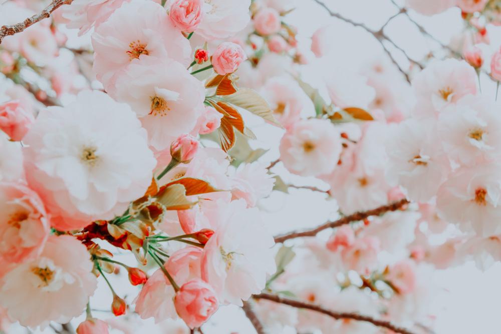 Sakura Blüten im Yoyogi Park in Tokio