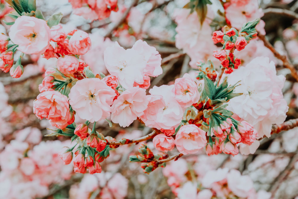 Sakura Flower Japan