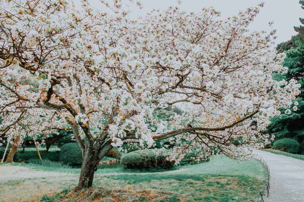 weißer Sakurabaum im Shinjuku Gyoen National Park