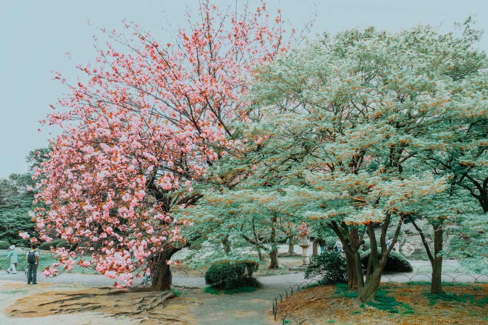 Kirschblütenparks in Tokio - Shinjuku Gyoen National Park