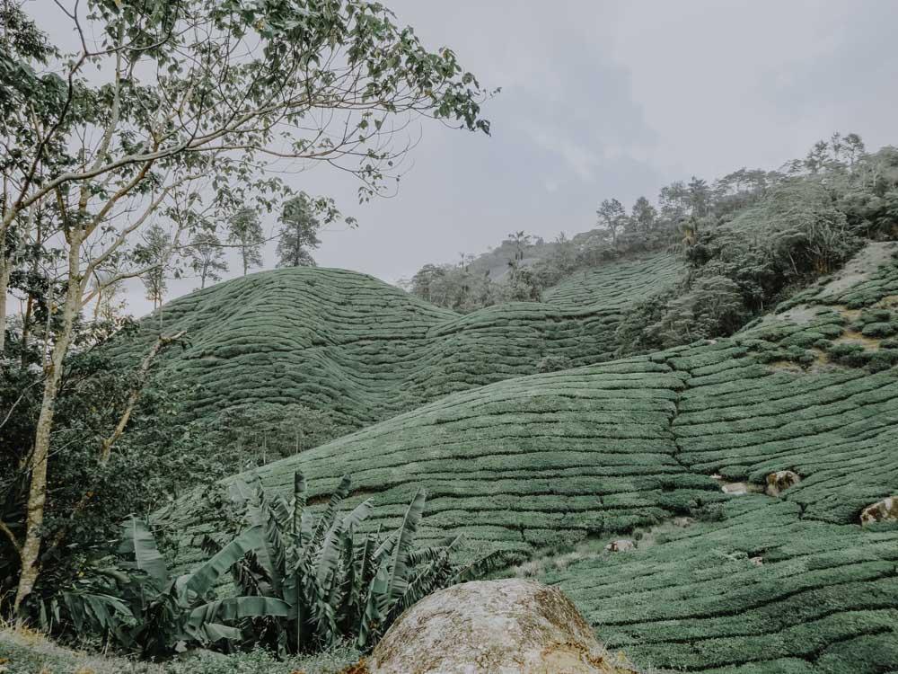 Teefelder der Boh Tea Estate