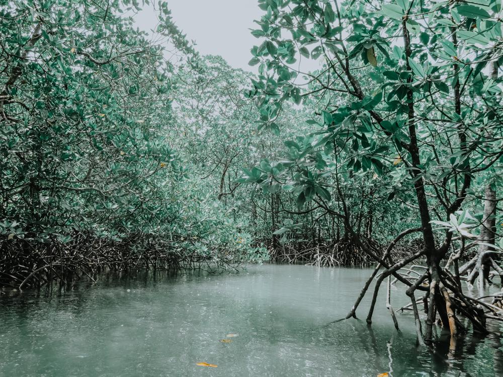 Inmitten der Mangroven im Kilim Karst Geoforest Park auf Pulau Langkawi