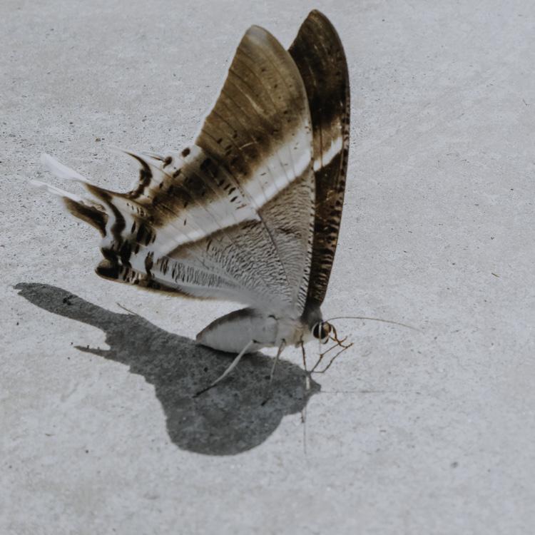 malaiischer Schmetterling