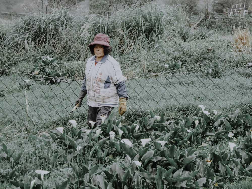 Callafeld in Zhuzihuin Taiwan