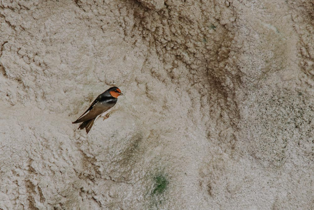 Schwalbe in der Swallow Grotto