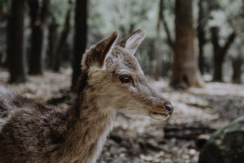 Nara's Deers in Japan