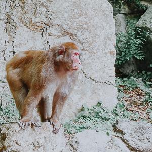 Affe im Minoh Park